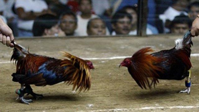 Taruhan Sabung Ayam S128 Online Terpercaya